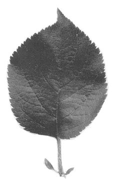 MM.103 leaf
