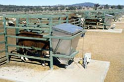 Cattle at feeders