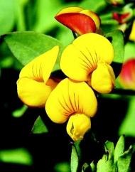 Lotus - Birdsfoot trefoil