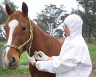 Horse being tested for Equine Influenza