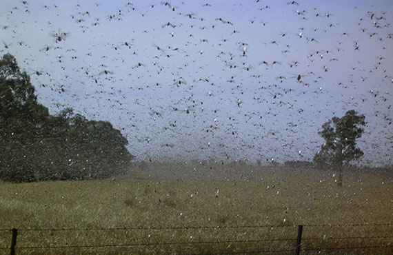 High density locust swarm over a wheat crop