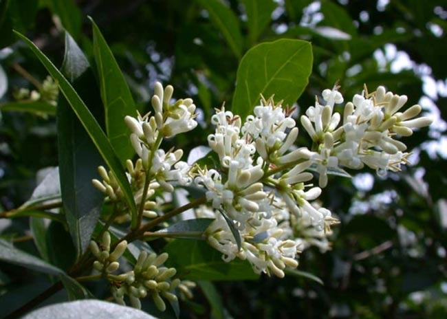European privet flowers