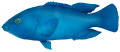 Blue Groper