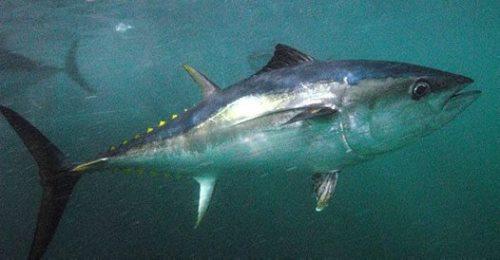 Southern Bluefin Tuna. Image by David Muirhead.