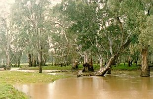 River Red Gum Woodland
