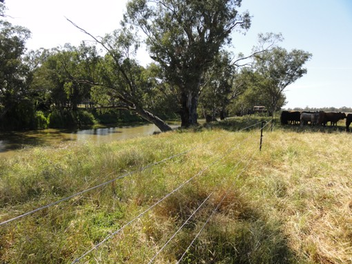 Fencing protecting the riparian area of the Namoi River