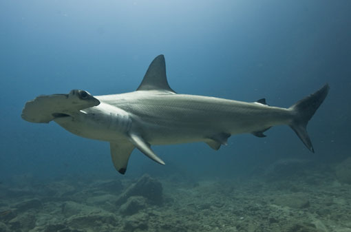Scalloped Hammerhead Shark. Photo credit: Frederic Buyle