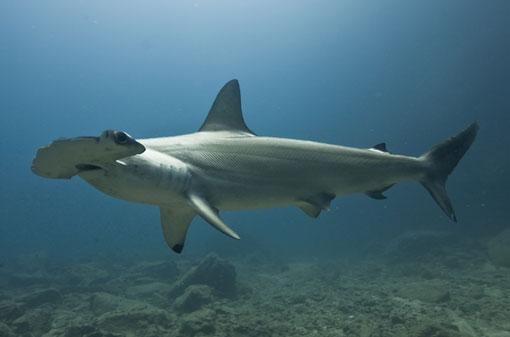 Scalloped Hammerhead Shark. Photo credit: Frederic Buyle