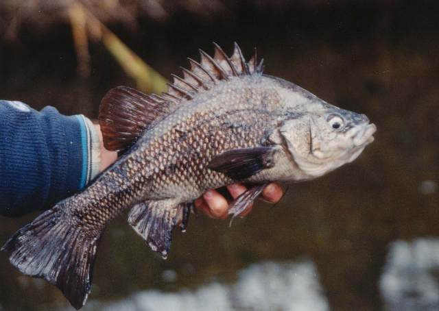 Image result for macquarie perch