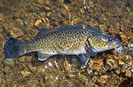 Eastern freshwater cod are very easily identified by their distinct colour and marking.