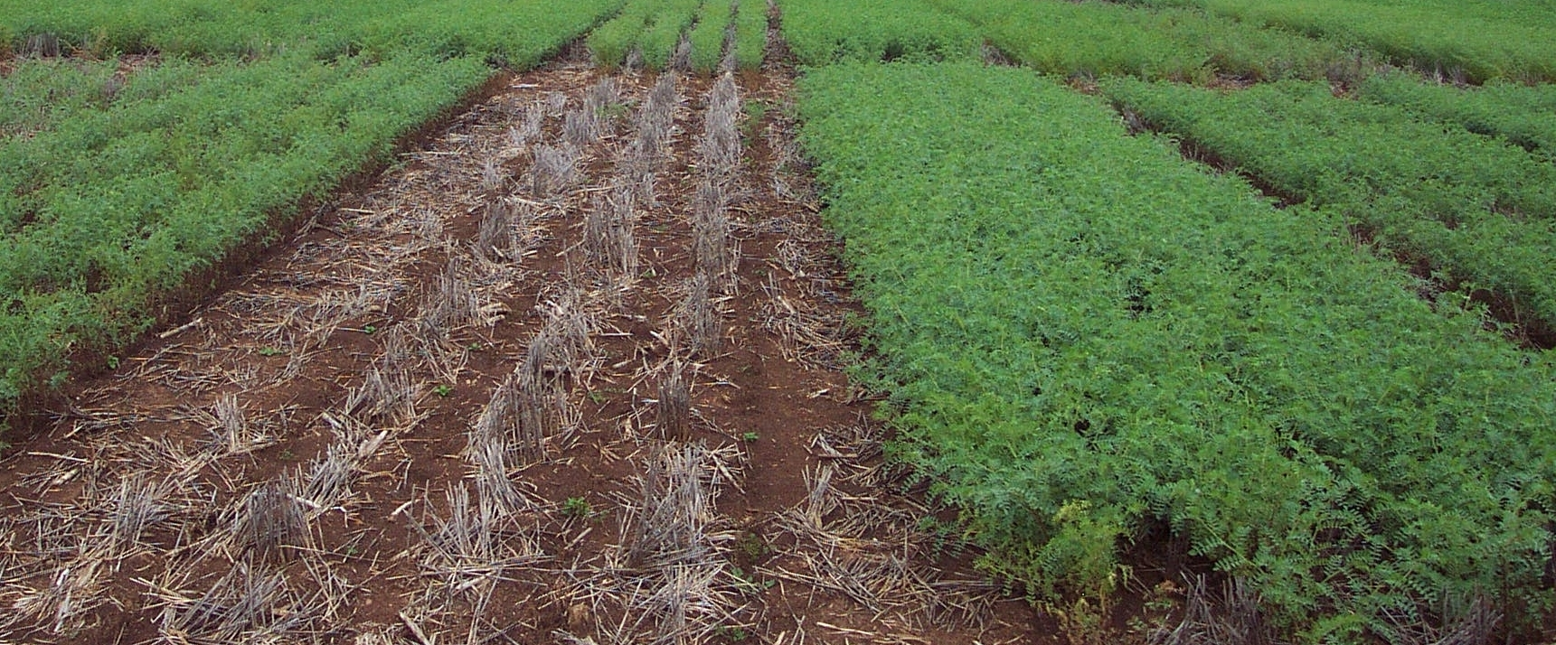 A trial plot showing the difference in results between the new and old varieties of chickpea