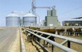Feedlot with silos