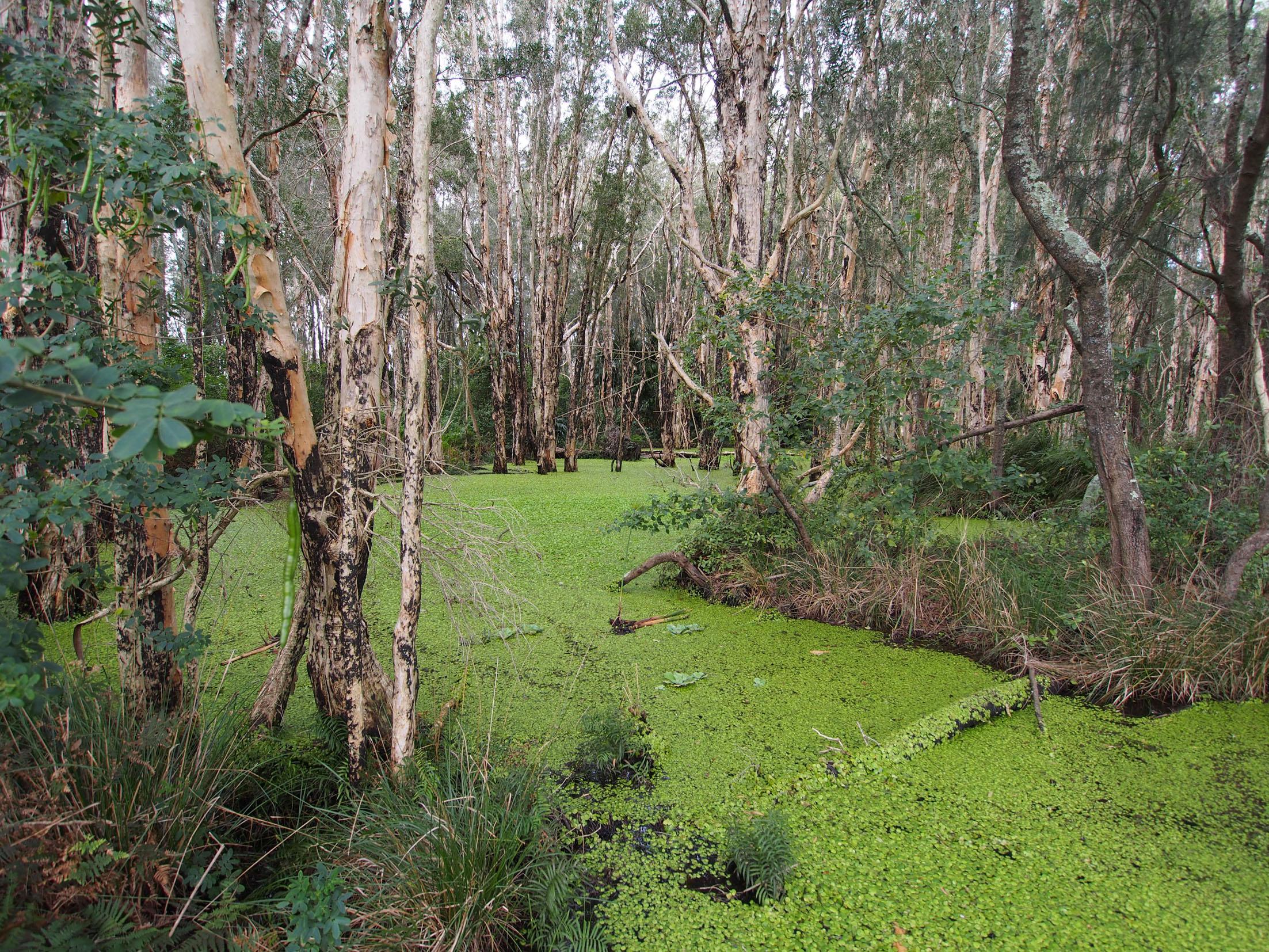 The Amazon Frogbit infestation near Forster
