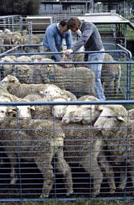 Sheep in pens