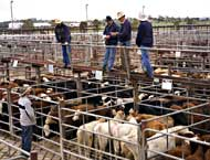 Cattle at saleyards