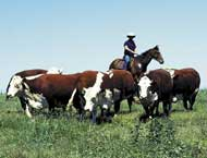 Horse working cattle