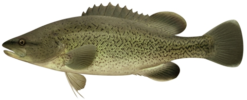 Trout Cod. Illustration: Pat Tully