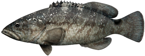 Black Rockcod. Illustration: Pat Tully