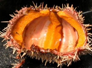 Internal anatomy of a sea urchin showing the skeins of roe (or uni), which is the primary product in the sea urchin fishery