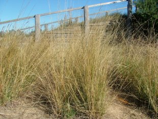 Slender rats tail grass