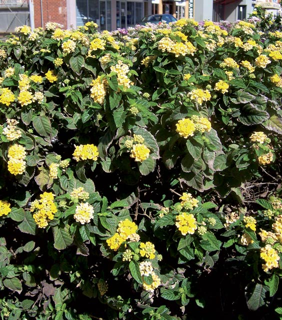 Yellow flowered creeping lantana