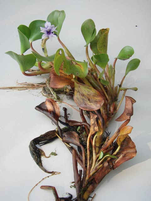 Anchored water hyacinth plant.