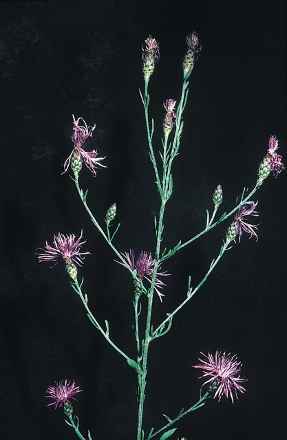 Spotted knapweed flower head structure