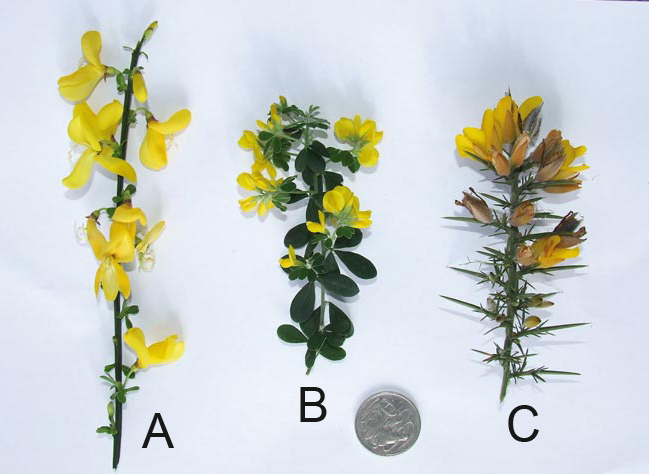 Scotch broom; Cape broom & Gorse comparison