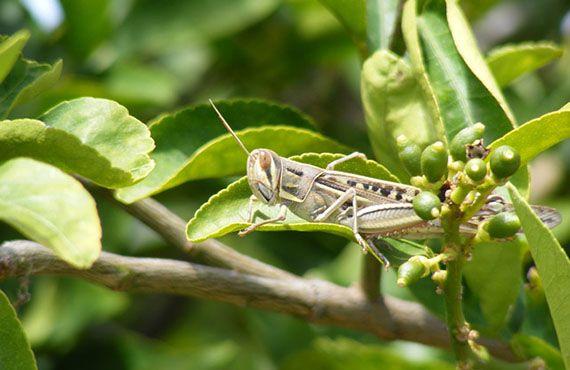 Spur-throated locust on citrus tree