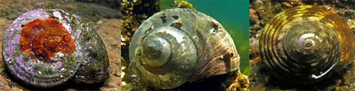 Turban shell species commonly taken in NSW