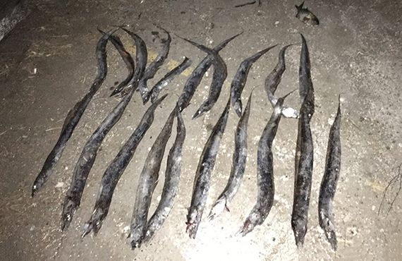 Seized hairtail fish (Newcastle Harbour) on ground
