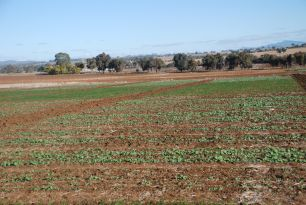 Rainfall is needed for wheat and canola crops