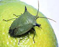 Spined citrus bug - sml