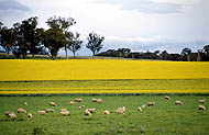 Canola crop and sheep on pasture at Cowra NSW