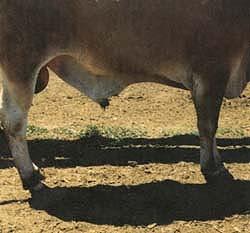 An ideal sheath on a 2-year-old bull