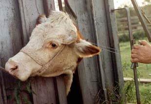 Dehorning a cow