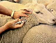 Vaccinating sheep