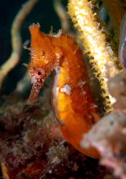 Seahorses and their relatives | NSW Department of Primary Industriesseahorse