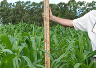 Control corn grew to a height of 1200mm