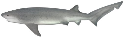 Broadnose Seven Gill shark