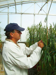 Inspecting wheat plants in the greenhouse