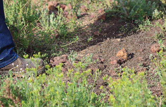 Image 15. Dense locust band on a property at Carinda.
