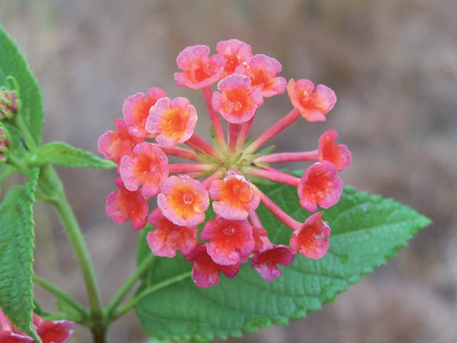 Pink edged red flowered lantana