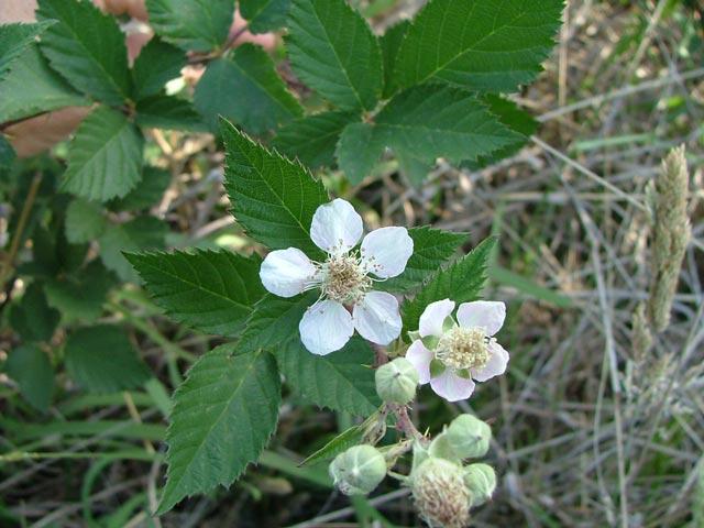 blackberry weed - photo #16