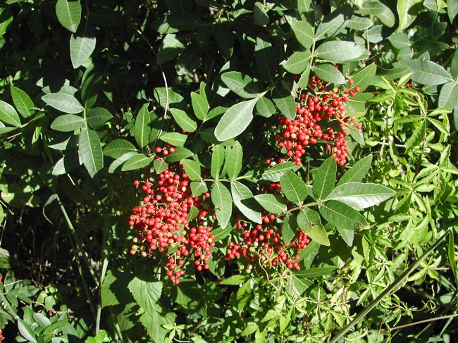 Ripe Broad-leaf pepper tree berries