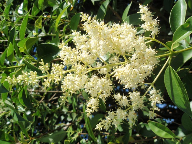 Broad-leaf privet flowers