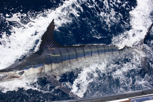 A marlin being tagged