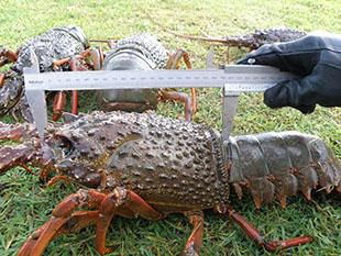 Measuring an oversize lobster