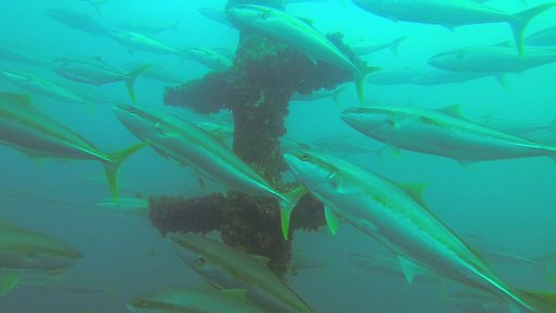 Yellowtail kingfish schooling