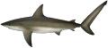 Shark - Whaler